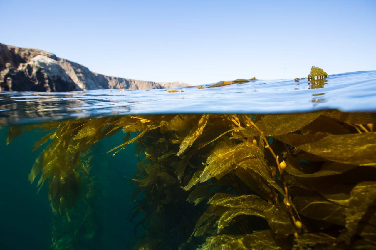 How To Fish Kelp Paddies - Sportfishing Lures